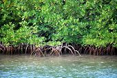 Closeup of mangrove roots on the coast in the Caribbean