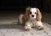 Scruffy but very cute Cavalier King Charles spaniel poses for the camera