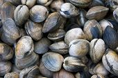 A background of fresh clams for sale at a market