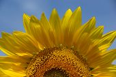 stock photo of heliotrope  - Summer sunshine falls on the petals of this beautiful yellow sunflower which rests against a blue sky background - JPG
