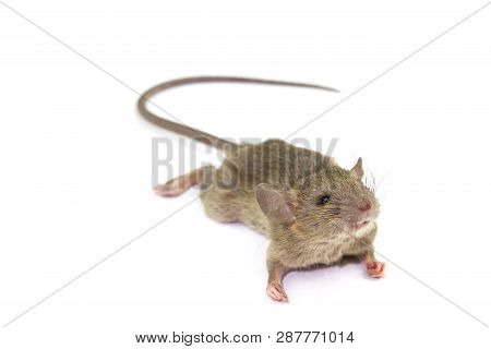Dead Rat mouse Isolated On