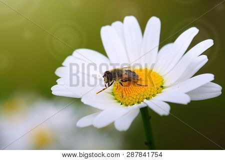 White Big Daisy Flowers Amd