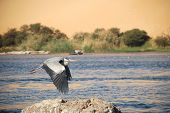 Blue Heron On The Nile Egypt Part 1 221