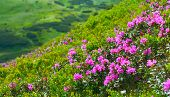 Rhododendron. View Of Pink Rhododendron In Summer Mountains poster