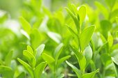 Green Leaves Of Boxwood (Box Or Buxus Sempervirens)