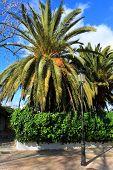 Palma verde grande en la playa de Ibiza, Islas Baleares, España