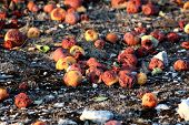 Many Partially And Fully Rotten Yellow Apples Fallen From Near Tree On Ground And Left To Rot Surrou poster