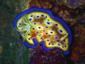 Closeup With Nudibranch Goniobranchus Kuniei In Underwater World Diving Sabah, Borneo. Marine Life,  poster