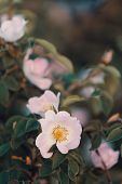 Beautiful Rosa Canina ,rose Hip Or Rosehip, Also Called Rose Haw And Rose Hep, The Accessory Fruit O poster