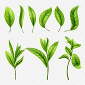 Vector Realistic Tea Leaves On Transparent Background. Leaves Tea Leaf, Organic Ceylon Sprout Illust poster
