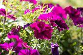 Purple Petunias. Flower Bed With Purple Petunias, Colourful Purple-red Petunia Flower Close Up, Petu poster