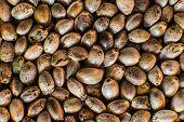 Many Cannabis Seeds. Macro Detail Of Marijuana Seed. Organic Hemp Seed. Hemp Seeds Background In Mac poster