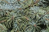 Fir Tree Branches Pattern  Young Fir Twigs poster
