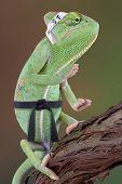 Chameleon Karate Kid