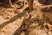 Couple Of Funny Suricates In Zoological Park, Barcelona, Spain poster