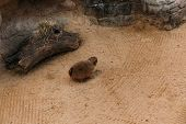 Funny Furry Marmot Sitting On Sand In Zoological Park, Barcelona, Spain poster