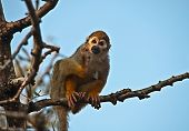 Portrait Of A Cute Squirrel Monkey .