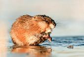 pic of muskrat  - Muskrat ( Ondatra zibethica ) in beams of sunset light on ice. Winter. Ladoga Lake