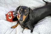 Dog Dachshund  Is Lying In The Bed And Playing With Toy poster