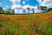 red poppy field dordogne perigord France