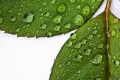 Closed Up Droplets On Leaf Isolated