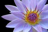 Purple water lily