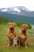 Three dogs against Norwegian landscape, Scandinavia