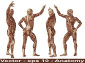 Vector concept or conceptual human or man 3D anatomy body with muscle isolated on white background a