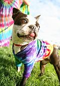 a cute boston terrier puppy in a tie dye shirt
