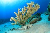 Giant Puffer Fish and Acropora Table Coral