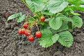 Bush Of Juicy Strawberry
