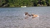 Two Dogs Playing In The Lake