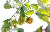 Vernal Hanging Parrot Loriculus Vernalis