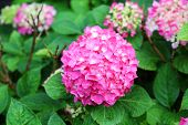Hortensia group.
