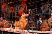 Dirty Caged Chickens In Africa