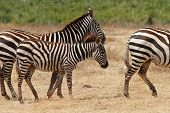 Zebra Foal Walking With Herd