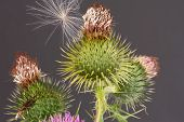 Thistle And Seed