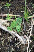 Tamarind Tree Seedlings
