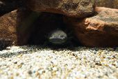 Axolotl - Ambystoma Mexicanum