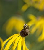 Bumble Bee On Cone Flower