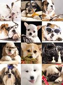dog portraits closeup, collage, bulldog, english spaniel, corgi, Chihuahua hua, Samoyed, Dog