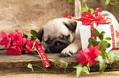pug puppy and gift box