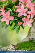 Pink Flowers On A Satsuki Azalea Bonsai Tree