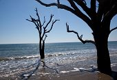 Live Oak tree in the surf