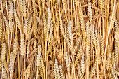 Ripe Common wheat - Bread Wheat (Triticum aestivum). Organic background.