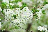 Cherry flowers