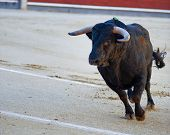 stock photo of bullfighting  - The bull running during a bullfight in Madrid - JPG