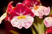 Miltonia Breatthless 'brilliant'
