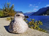 picture of mew  - Mew in Como italian city with a beautiful lake in a province of Lombardy - JPG