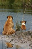 pic of bull-mastiff  - boxer and bull mastiff dog sitting on the shore line of a pond on a hot summer day - JPG